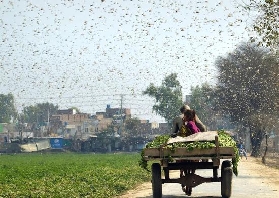 浙江10万鸭子将出征巴基斯坦灭蝗宁波鸭请求出战